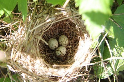 Three bird eggs
