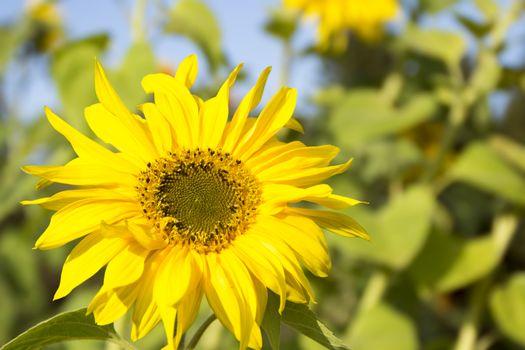 Flower ripe sunflowers