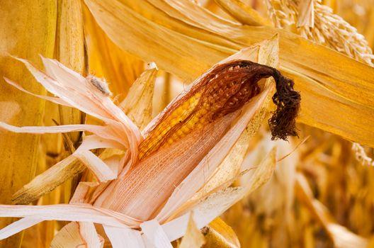 ripe ear of corn ready for harvest