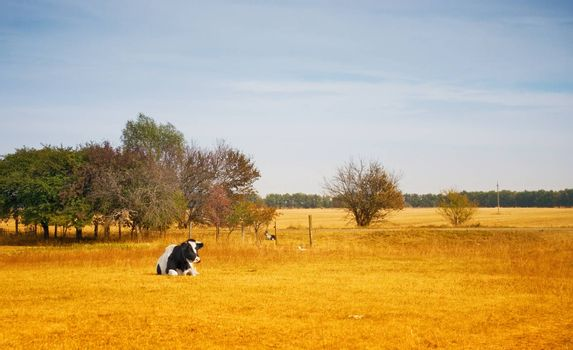 Lonely cow in a dry summer field