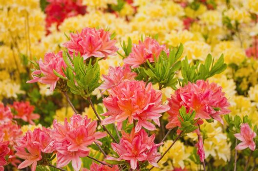 Beautiful blooming azaleas and rhododendrons in the garden