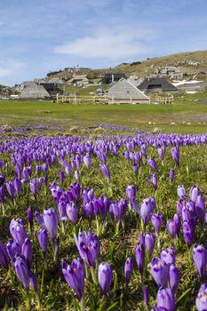 Beautiful spring crocuses on Velika Planina plateau in Slovenia.