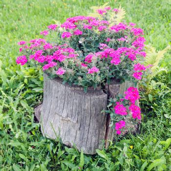 Old rotten stump as perfect flower pot