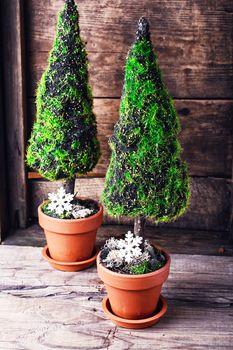 symbolic Christmas cypress