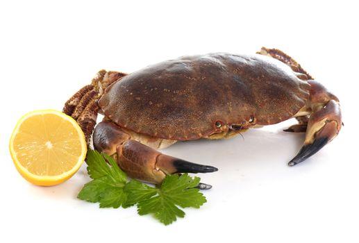 edible brown crab
