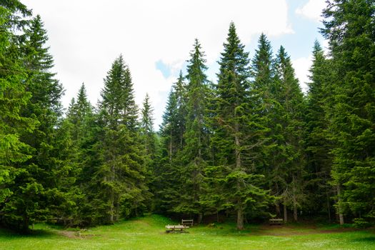 Fir Tree Forest in National Park Durmitor of Montenegro