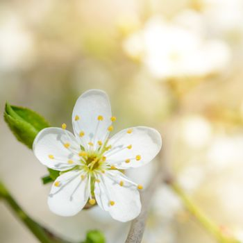 White Spring Flower in Bright Sun Light on Bright Blurred Background