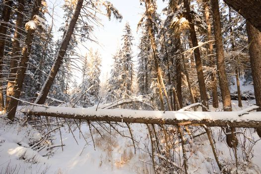trees covered with snow in winter forest, nature series