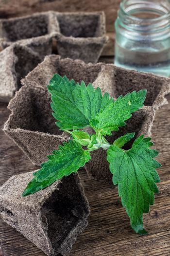 Melissa officinalis herb on wooden table top