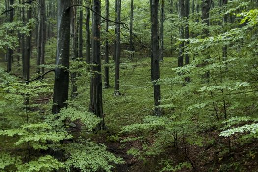 Beauty, fresh forest  at Balkan mountain in rainy day