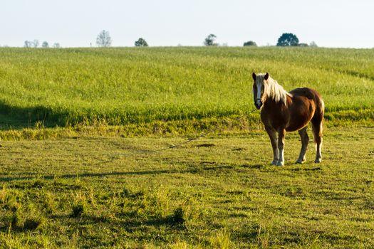 horse in a field, farm animals series