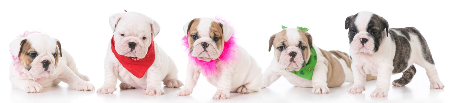 litter of five english bulldog puppies isolated on white background