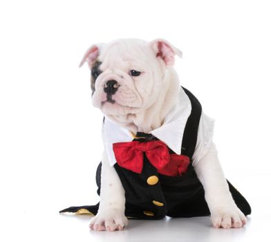 english bulldog puppy wearing a tuxedo on white backtground