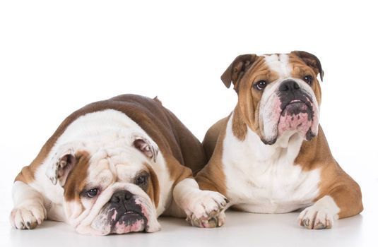 two english bulldogs laying down on white background