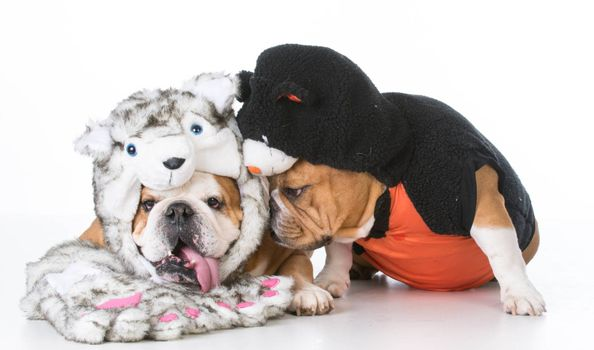 english bulldogs wearing dog and cat costumes on white background