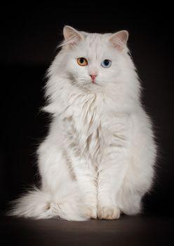 Portrait of a varicoloured eyes white cat