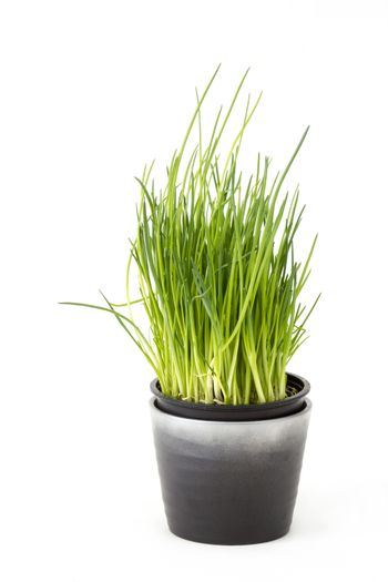 fresh chives in a pot on white background