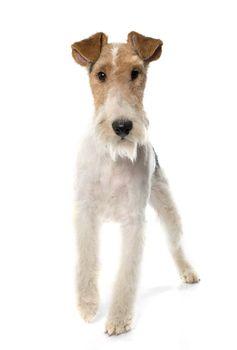 purebred fox terrier