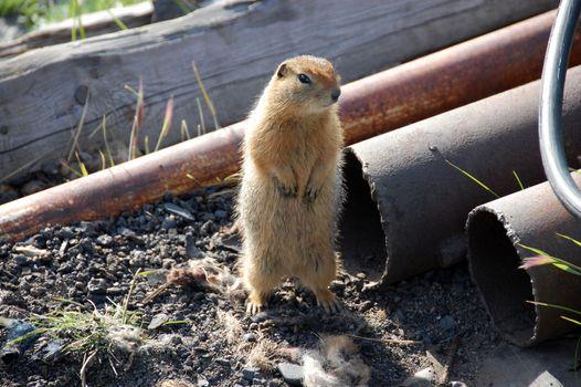 Arctic ground squirrel near metal tube