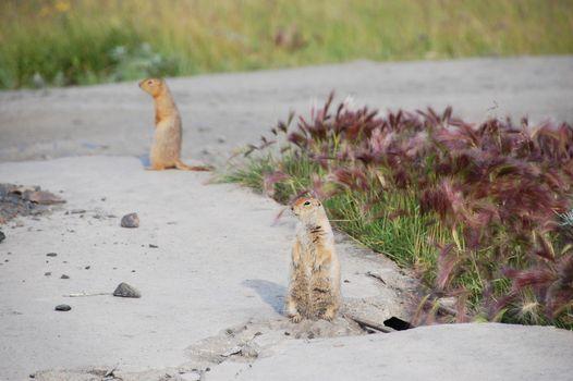 Arctic ground squirrels at roadside