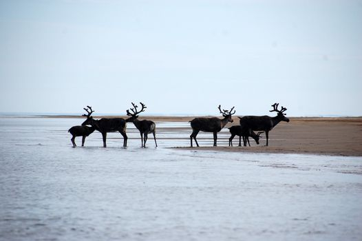 Wild dears at Chukotka sea coast
