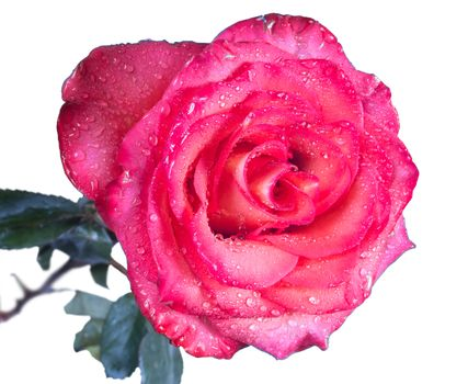 Single beautiful red rose isolated on the white background