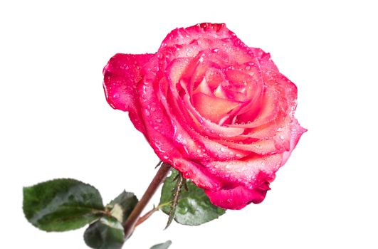 Single isolated beautiful red rose on the white background
