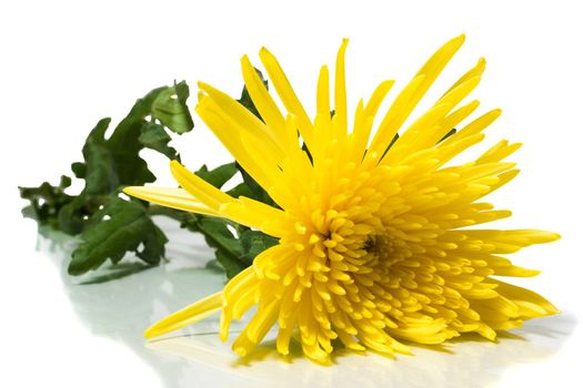 The photograph shows a chrysanthemum on a white background