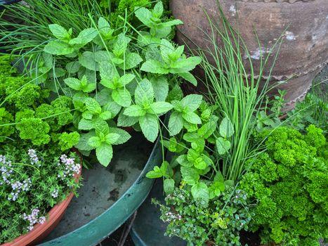 Edible green herbs