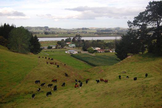Cows at hills farm rural area