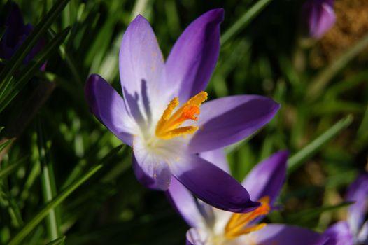 Colourful Spring Crocus.