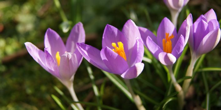 A close-up image of colourful Spring Crocus flowers.