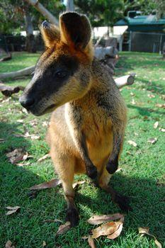 Kangaroo at town park Australia