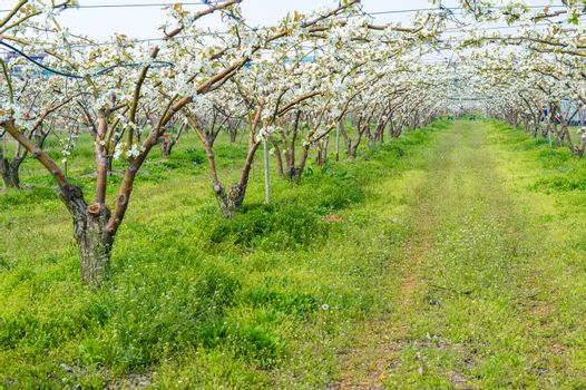 Rows of pear trees in blossom,Korea