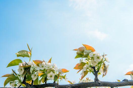 Pear flowers in korea.