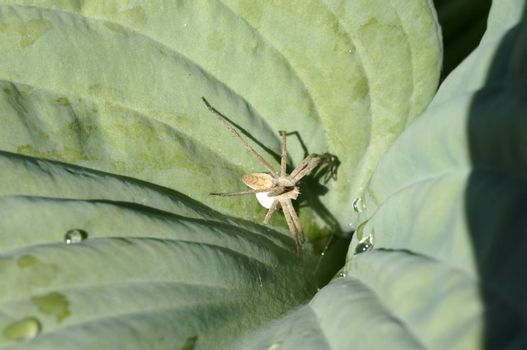 The macro close-up of a female Nursery web spider, Pisaura mirabilis, which sits with a egg sac on a leaf.