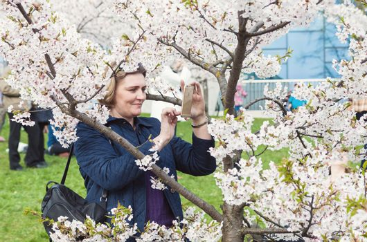 VILNIUS, LITHUANIA - APRIL 25, 2015: Middle aged woman taking picture of blossoming cherry tree with her smartphone in Vilnius, Lithuania.