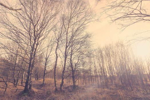 Birch forest in Denmark