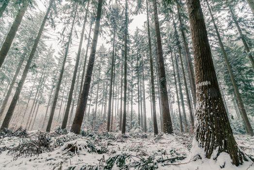 Pine tree forest in Scandinavia