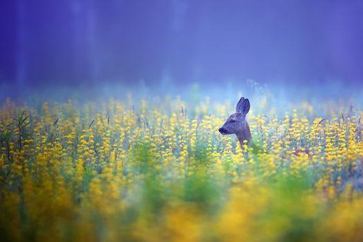 Roe-deer in the mist