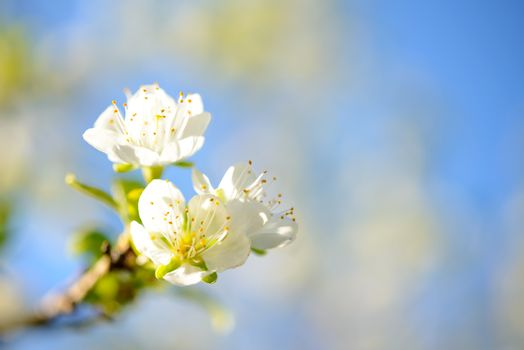 Spring Blossoming Pear Flowers on Blurred Blue Background