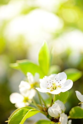 Spring Blossoming Pear Flowers on Bright Blurred Background