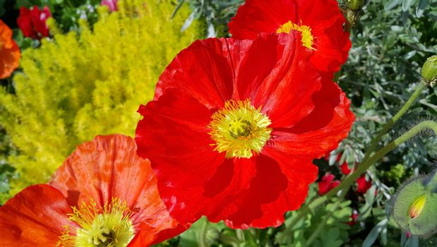 Closeup of beautiful red poppies