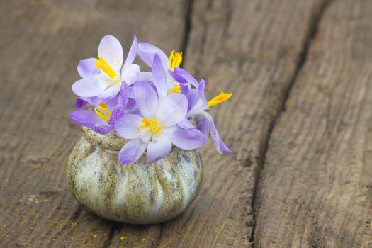 crocus flowers - fresh spring flowers