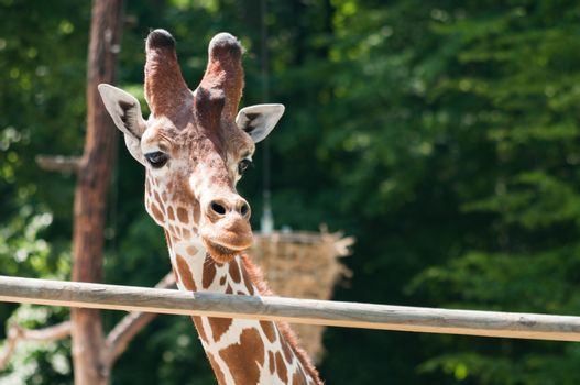 Portrait of a giraffe on the background of green trees