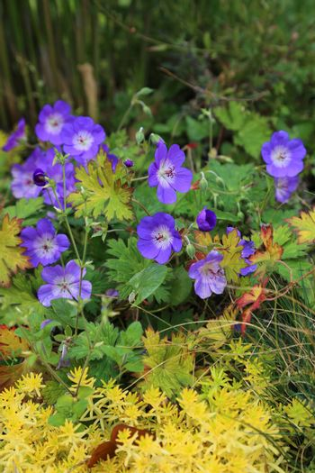 Blue Geranium with yellow plants nature background