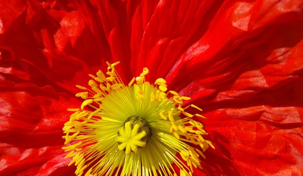 Beautiful nature background with closeup of bright red poppy