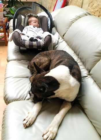 A Boxer Dog Breed watches over a Newborn