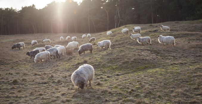 grazing horned sheep at sundown on the moor near Zeist and utrec