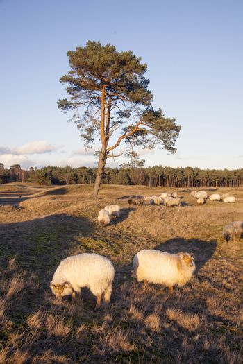 flock of sheep on the moor near Zeist and utrecht in the netherl
